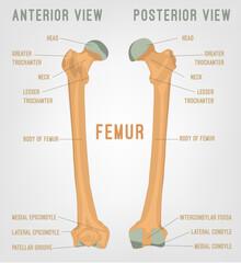 Human femur bones