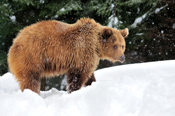 Bear in winter time