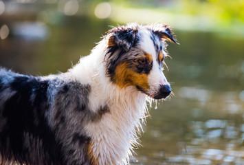 australian shepherd dog puppy water work