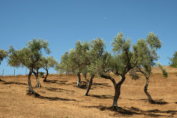 Plantation of olive trees in Italy
