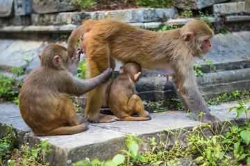 Monkeys in Pashupatinath Temple in Kathmandu, Nepal.
