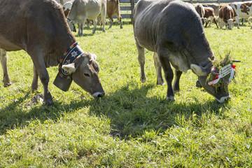 Italien, Dolomiten, Hochpustertal, weidende Kühe bei Sexten.