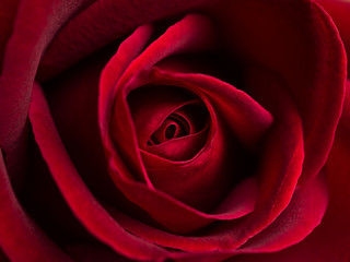 Top view and close-up image of beautiful blooming red rose flower, Selective focus and shallow DOF, Valentine day concept
