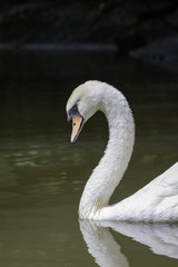 Image of a white swan on water. Wildlife Animals.