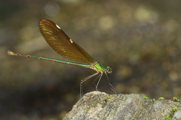 Image of Oriental Green-Wing Dragonfly(Female),Neurobasis chinensis chinensis on the rocks. Insect Animal.