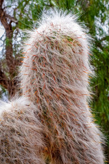 Hairy Cactus in the desert
