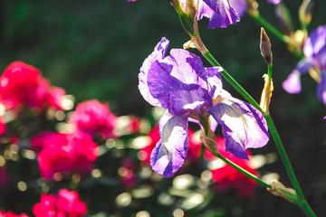 beautiful lilac flower iris closeup