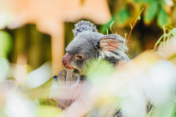 Cute Koala Bear Portrait In Tree