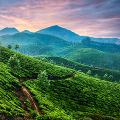 Wall Mural - Sunset over tea plantations