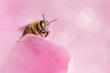 Honey bee collecting pollen from flowers.Macro photography.