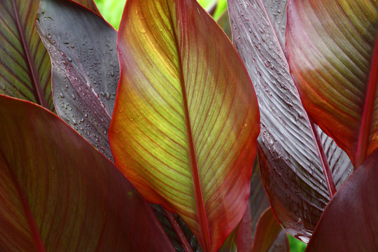 Beautiful leaves canna./A considerable quantity of leaves of a canna create a picture with a variety of paints and lines.