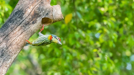 Bird (Coppersmith barbet) at hollow tree trunk