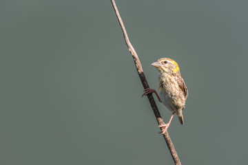 Bird (Streaked weaver) on tree in a nature wild
