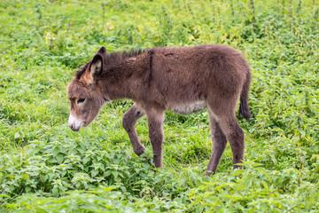 Junge Esel
