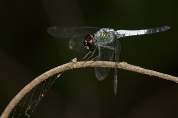 Image of a Brachydiplax farinosa Dragonfly on nature background. Insect Animal