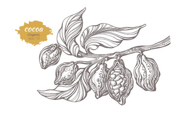 Vector sketch of cocoa tree branch