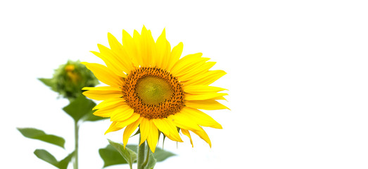 Beautiful sunflower on white background. Summertime landscape scene photo, copy space
