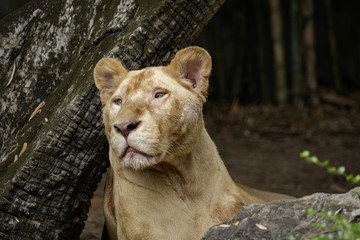 Image of a female lion on nature background. Wildlife Animals.