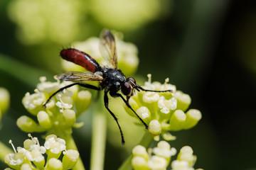 Fly, Cylindromyia brassicaria
