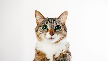 close-up portrait of a cat on a white background