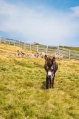 Esel auf der Alm