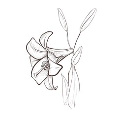 Lily sketch drawing of a flower.