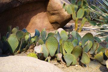 Cactussen in North America desert