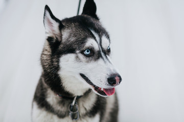 Close-up portrait of black and white beautiful Siberian Husky Dog on background of white snow. Artwork