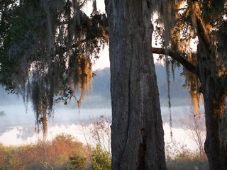 Oak tree with spanish moss and a misty lake