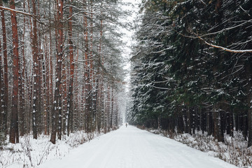 Winter forest road
