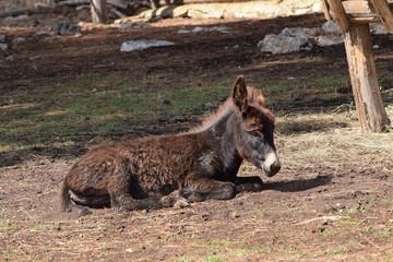 Small Donkey Foal Laing in the Paddock.