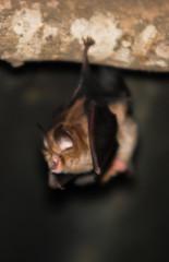 pipistrello Ferro di cavallo minore,primo piano,Rinolofo,sfondo scuro,Rhinolophus hipposideros