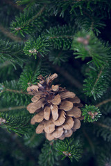 A pine cone on a fir tree