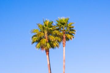 Two palm trees against blue sky. Palma, Majorca, Spain