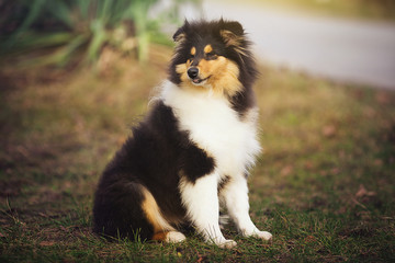 Beautiful Sheltie dog on the nature