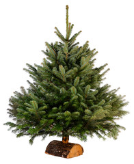 bare naked abies nordmann fir christmas tree isolated on a white background