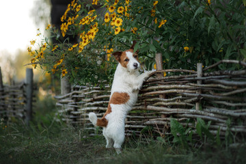 Dog Jack Russell Terrier at the wooden fence in the garden