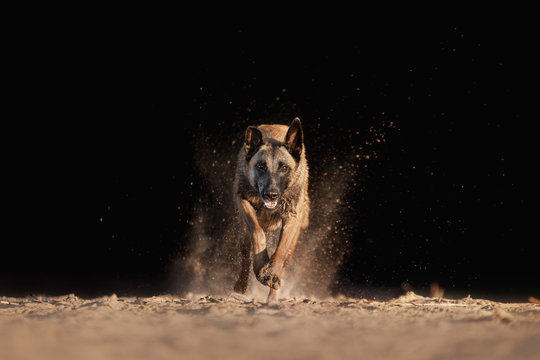 Dog Malinois runs