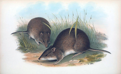 Illustration of a Bandicoot.