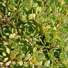 saxifraga paniculata plant