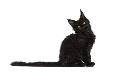 Black Maine Coon cat / kitten sitting side ways isolated on white background with tilted head