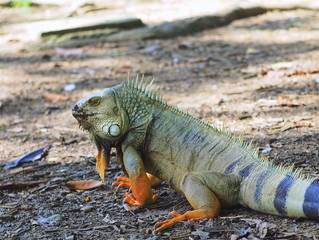 Iguana at the medellin botanical garden in colombia