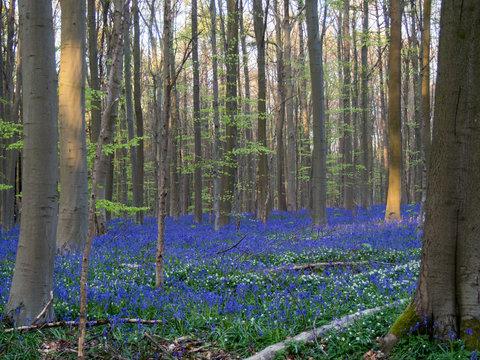 Hallerbos forest in blossom in Belgium
