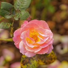 """rosa, gefüllte teehybrid rose """"elle"""" mit gelb leuchtendem blütenkelch, makro, quadratisch"""