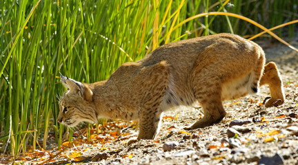 Bobcat drops lower to prepare to pounce