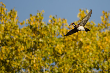 Lone Wood Duck Flying Past an Autumn Tree