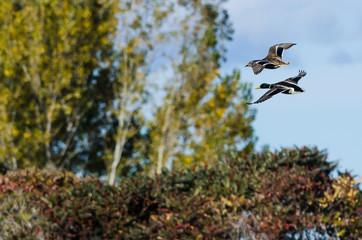 Pair of Mallard Ducks Flying Past the Autumn Trees