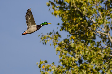 Male Mallard Duck Flying Past an Autumn Tree