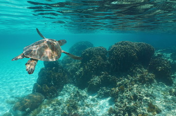 Underwater a green sea turtle Chelonia mydas over a coral reef, Caribbean sea
