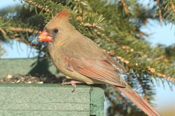 Fotoväggar - Female Northern Cardinal (cardinalis) on a Feeder